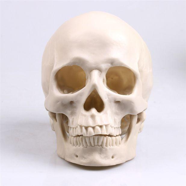 model ludzkiej czaszki aliexpress