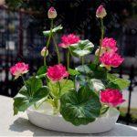 aliexpress nasiona lotosu